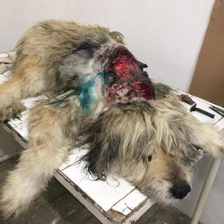 verletzter-hund-kastrationsprojekt